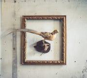 faisan Un animal d'empaillage d'un endroit de faisan dans le cadre de photo de cru Bien qu'ils puissent être trouvés n'importe où images libres de droits