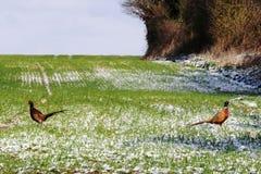 faisans d'aube neigeux Photographie stock