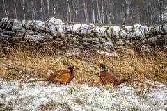 Faisans masculins dans la neige d'hiver Photos libres de droits