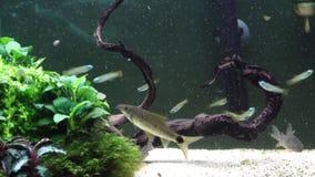 Faisant à un aquarium d'eau douce le décor naturel photo stock