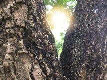 Faisceau lumineux entre l'arbre de branche image stock
