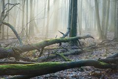 Faisceaux de lumière au-dessus de bois mort Images stock