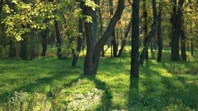 Faisceaux de Sun dans la forêt clips vidéos