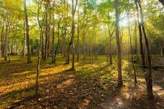 Faisceaux du soleil de matin dans la forêt Images stock
