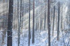 Faisceaux par le brouillard givré dans le bois de pin d'hiver Photographie stock