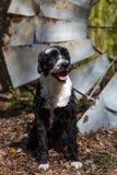 Faisceaux portugais de chien d'eau vers la fin du soleil de matin Image libre de droits