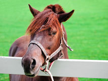 Faites face au cheval Images libres de droits