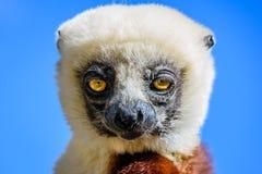 Faites face au lémur haut étroit de Sifaka avec le ciel bleu Photos libres de droits