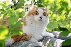 Faites le chat de gingembre avec les yeux effrayés par sein blanc Photos stock