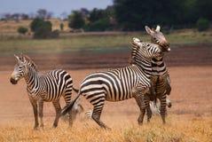 Faith african zebras Stock Image