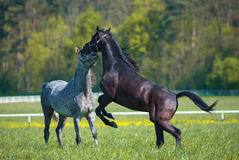 Faith arabian stallions Stock Photography