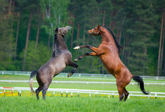 Faith arabian stallions Royalty Free Stock Photos