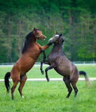 Faith of two  Arabian horses Stock Photography