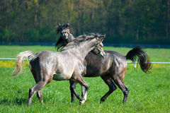 Faith of two arabians stallions Stock Photos