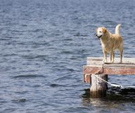 Faithful. Dog waits for return of master on dock royalty free stock images