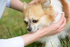 A faithful companion. Pomeranian spitz held by owner hands. Pomeranian spitz dog walk on nature. Pedigree dog. Dog pet. Outdoor. Cute small dog play on green stock image