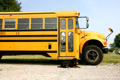 Faithful dog. Rottweiler dog waiting at school bus stock image
