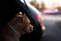 Faithful dog sitting in a car and looking stock photography