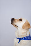 Faithful golden labrador Royalty Free Stock Images