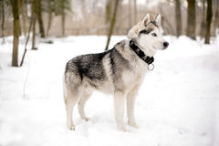 Faithful huski and snow. Cute huski with collar is standing against of white snow Royalty Free Stock Photos