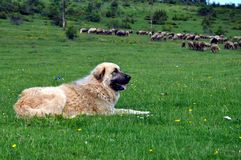 Faithful keeper of the herd - Sharmountain dog. Gora region, southern Kosovo royalty free stock photo