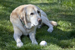Faithful Labrador waiting for you. With its ball royalty free stock photo
