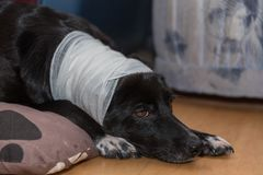Bandaged dog with head injury. Faithful looking dog with wound on the head royalty free stock image