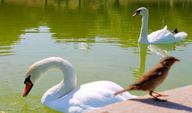 Faithful swans on the pond Stock Photography