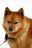 Brown Finnish Spitz dog / Canis lupus familiaris. Faithful young brown dog ( Canis lupus familiaris ) isolated on White, Finnish Spitz / Suomenpystykorva in stock images
