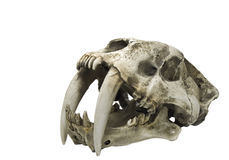 Faithfull skull replica sabre tooth tiger Smilodon Fatalis Stock Photos