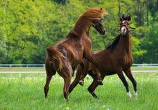 Faithing Arabian horses. Arabian horses galloping on the pasture Stock Photo