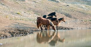 Faixa dos cavalos selvagens que refletem na água ao beber no waterhole na escala do cavalo selvagem das montanhas de Pryor em Mon Imagens de Stock Royalty Free