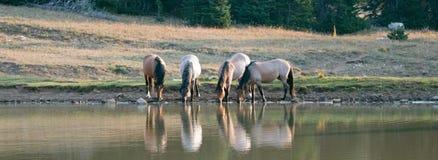 Faixa/rebanho pequenos dos cavalos selvagens que bebem no waterhole na escala do cavalo selvagem das montanhas de Pryor em Montan fotografia de stock royalty free