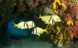 fajczany porkfish Zdjęcia Stock