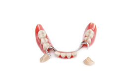 Fake jaw with two teeth out Stock Image