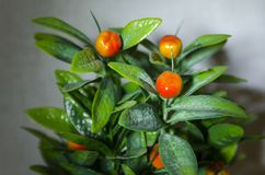 A plant with orange fruits royalty free stock image