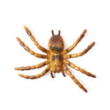 Fake rubber spider toy isolated Royalty Free Stock Images