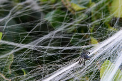 Fake small Halloween spider decoration on bush with web Royalty Free Stock Image