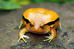 A Fake Tomato Frog. Orange fake tomato frog sat on a rock Stock Photos