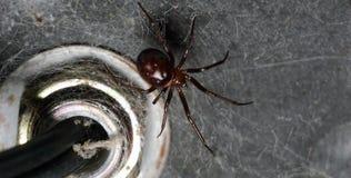 Fake widow common spider full body