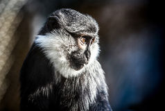 Fake wildlife. Portrait of an ape Royalty Free Stock Image