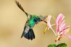fakturerad bred hummingbird Royaltyfria Bilder
