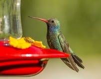 fakturerad bred hummingbird Arkivfoton