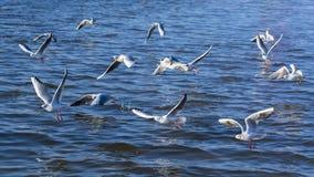fakturerad fiskmåsred arkivfoton