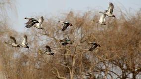 Fakturerad guling duckar i flykten Royaltyfria Foton