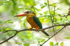 fakturerad kingfisherstork Arkivfoto