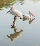 fakturerad pelikanfläck Royaltyfri Foto