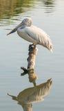 fakturerad pelikanfläck Arkivfoto