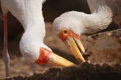 fakturerad storkyellow Royaltyfri Fotografi