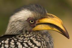 fakturerad sydlig yellow för hornbill Arkivfoton